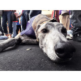 Moon laying on the ground all tired out! She's a retired racing greyhound!