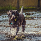 Black Labrador dog running in river