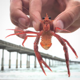 Tuna Crabs have invaded San Diego! Check it out on Google!