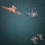A Kestrel above swimmers on Lake Bled