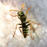 Wasp through glass