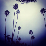 Creepy looking palms with morning haze in Laguna beach, California