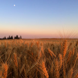 Wheat field welcoming the moon while bathing in the sunset glow on the Palouse.                                             Spangle, WA @Jedimomtricks 2014