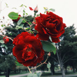 The roses that will glow your heart red