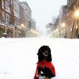 Enjoying some walks around the North End (Boston) while there were no cars allowed on the roads. The perks of living in the city during a blizzard! Stella sitting nicely in the middle of Hanover Street.
