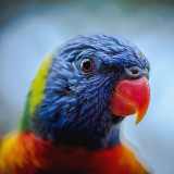Rainbow Lorikeet Portrait. Trichoglossus haematodus. Lake Macquarie, NSW, Australia