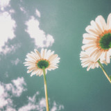 Daisies against a warm sky in summer