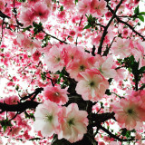 Spring! Cherry blossom is blooming and your heart blooming to see them !