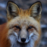 Red Fox - Colorado - Pikes Peak National Forest