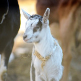 Two week old baby goat.