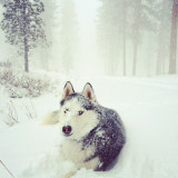 Pine Mountain, ORSiberian Husky in her element. Grinning as the snowfall only brings more dog joy.