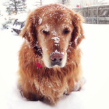 Snowy golden retriever...despite his expression...he really loved snow