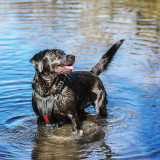 Black Labrador standing in shallow water