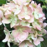 Close up of Hydrangea flower. White bloom with hints of pale pink and green.
