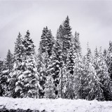Group of snow covered trees in black and white.