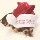 Cute chorkie is wearing a Christmas hat that says: Feliz Navidad.