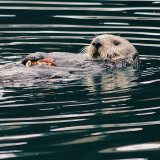 Southern sea otter eating crab in Monterey Harbor. Southern sea otters are listed as threatened on the endangered species lists with less than 3000 individuals in the wild. They like to hang out in and around the Monterey Bay.