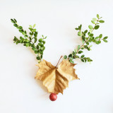 Boxwood Rudolph on a white background.