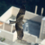 Eagle soaring over roof tops in Hong Kong.