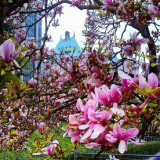 Springtime magnolia blossoms, with the Hotel Vancouver in the background ...