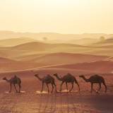 Camels walking in desert, UAE