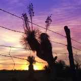 Texas yucca sunset deluxe