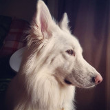 Bailey - White Longhaired German Shepherd, GSD