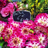 Dahlias in Paris