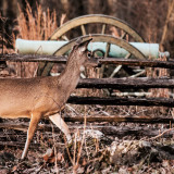 Deer comes out of the woods and walks past a civil war canon at a national battle field