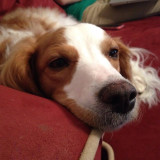 Close up of a Brittany Spaniel dog's face looking bored while laying on a red couch
