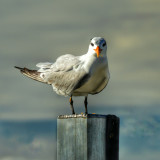 Birdie Stare Down - This Royal Tern seemed to give me the old stare down as I shot many photos while the strong wind ruffled its feathers.