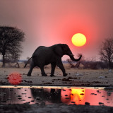 Elephant at sunset in Uganda