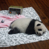 Monitoring health of baby Panda at Chengdu Panda Conservation Centre in China