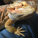 Handsome Bearded Dragon :)