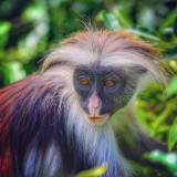 Zanzibar red colobus monkey in Jozani National Park, Tanzania. Fewer than 2000 believed to remain in the wild.