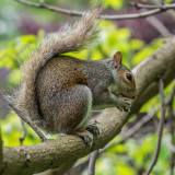 Just a grey squirrel in a London park.  Unfortunately, no matter how cute they might seem, they're actually non-native to the UK, and are considered pests, especially as they are a threat to the smaller, native, red squirrels who have vanished from almost all of the UK