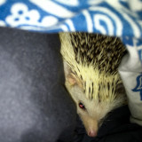 Hedgehog hiding under the covers