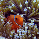Clownfish seen during snorkeling trip at Great Barrier Reef with Ocean Safari