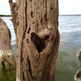Heart tree I came upon while fishing.