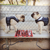 Pugs playing chess.