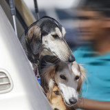 Beautiful saluki hunting dogs in the car