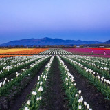 Tulip fields of Washington at blue hour