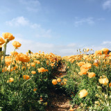 Ranunculus Flower Fields