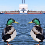 Two Ducks Standing By The Sea