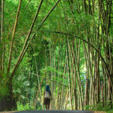 Local walking through a bamboo forest in Flores, Indonesia