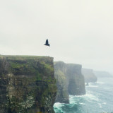 Bird flying above the cliffs of moher in Ireland