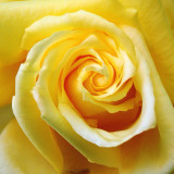 Awesome yellow rose.