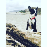 Boston Terrier. Milo. Lincoln City. Family. Even Dogs Hike.