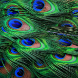 Detail of peacock feathers