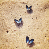 Mussel Butterflies flying in a sky of sand.